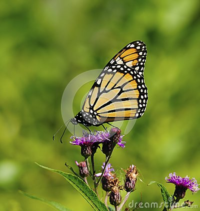 Free Monarch Butterfly Patterns Stock Photos - 118181643