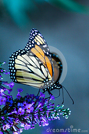 Free Monarch Butterfly Portrait Stock Photos - 27969053