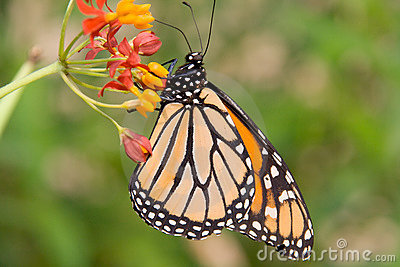 Monarch butterfly in profile