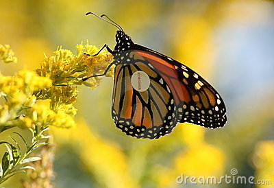 Monarch butterfly with tag