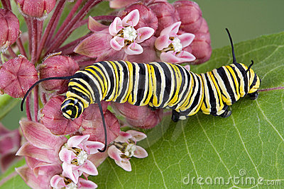 Monarch caterpillar on milkweed c