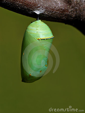 Free Monarch Chrysalis Royalty Free Stock Photos - 3497278