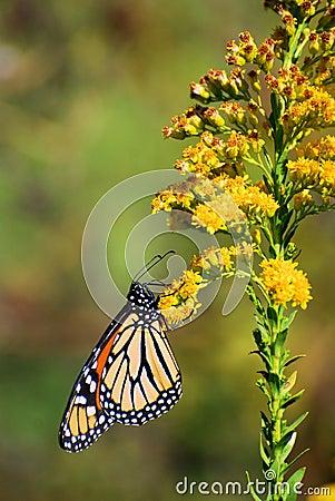 Monarch on Golden Rod Flower