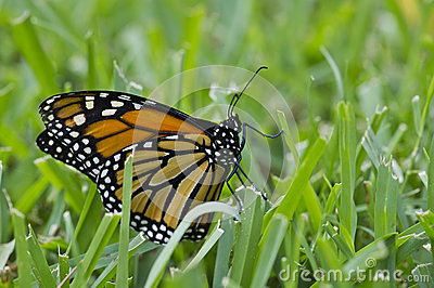 Monarch in the grass2