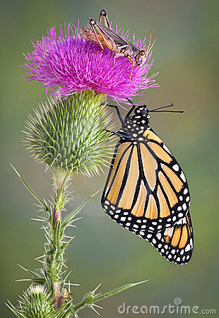 Monarch and Grasshopper