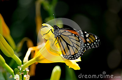 Monarch and nectar
