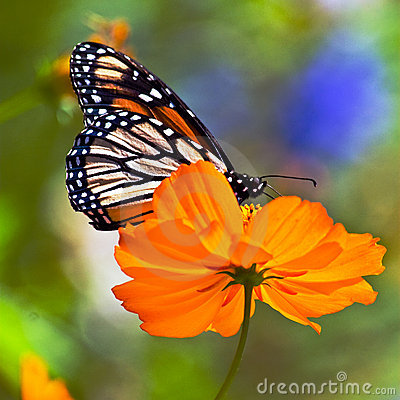 Free Monarch On Orange Flower Stock Image - 6482741