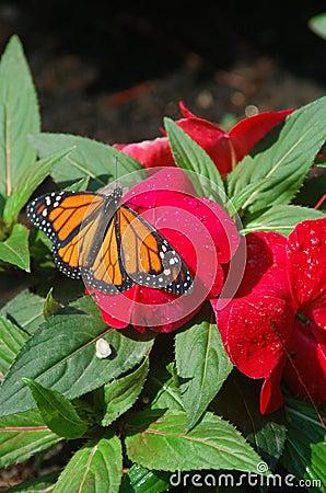 Monarch Red Flower