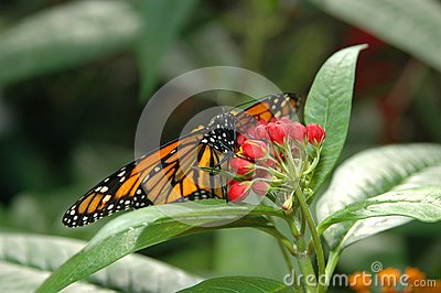 Monarch on red flowers