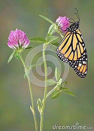 Monarh sipping nectar