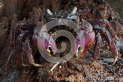 Monas crab