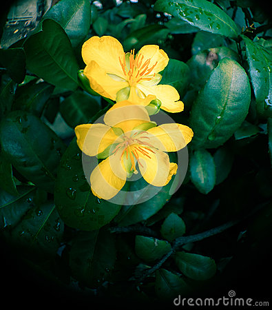 Free Money Tree Fortune Plant Yellow Flowers Stock Photos - 77026213