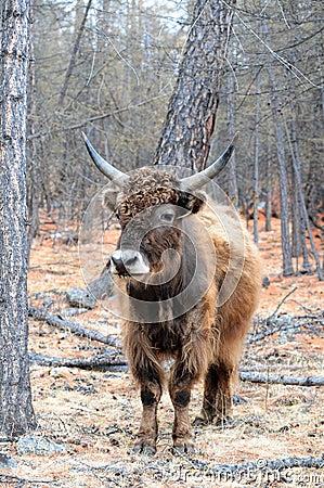 Mongolia – yak