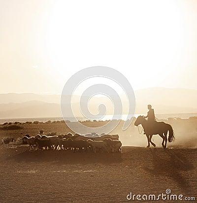 Mongolian boy drove herd of sheeps