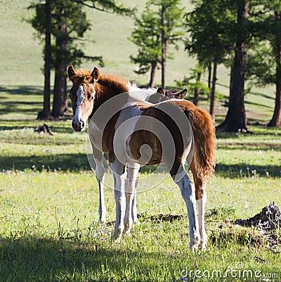Mongolian Horse Foal
