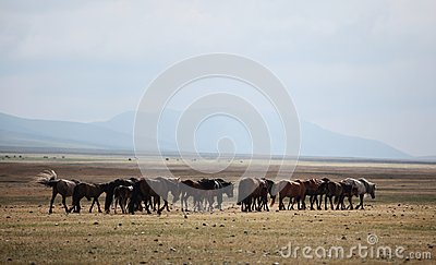 Mongolian Horses Editorial Stock Image