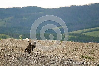Mongolian Vultures