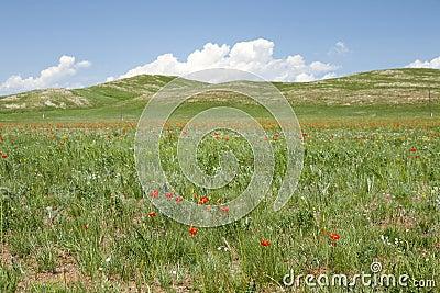 Mongolian Wildflowers
