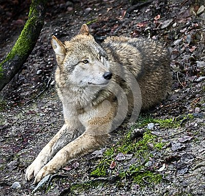 Free Mongolian Wolf 2 Stock Images - 111866434