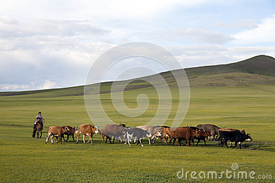 Mongolian Woman Herding Cattle