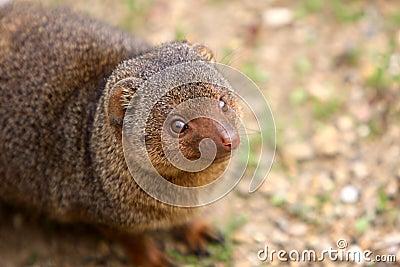 νάνο mongoose