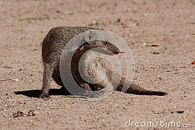 Соединенный Mongoose