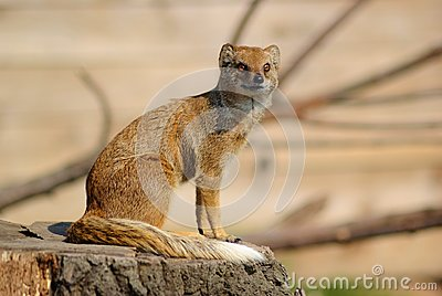 Mongoose of the look out