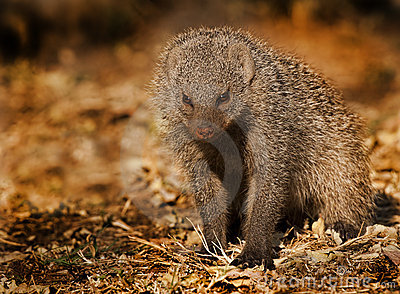 Mongoose Banded