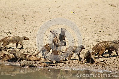 Mongoose, Banded - African Band of Brothers