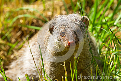 Mongoose do anão