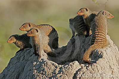 Mongoose family, Etosha National Park, Namibia