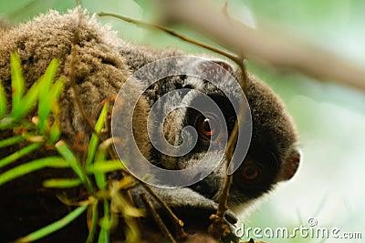 Mongoose Lemur