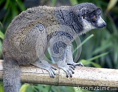 Mongoose lemur 5