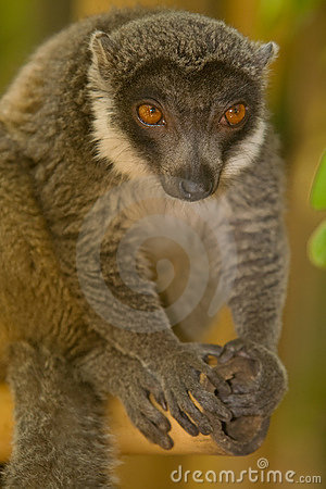 Free Mongoose Lemur Royalty Free Stock Image - 7997016