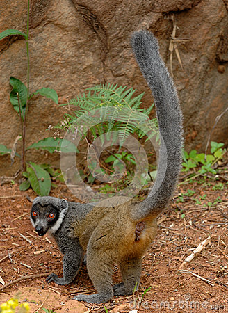 Free Mongoose Lemurs Stock Photography - 57837982