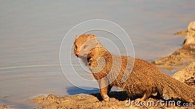 Mongoose, Slender - African mammal