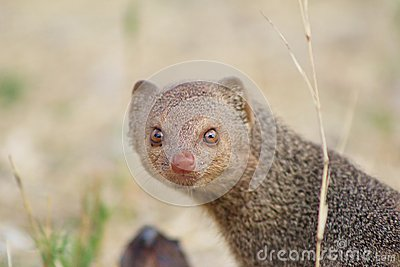 Mongoose, Slender - So pretty