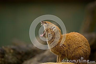 Mongoose Yawning