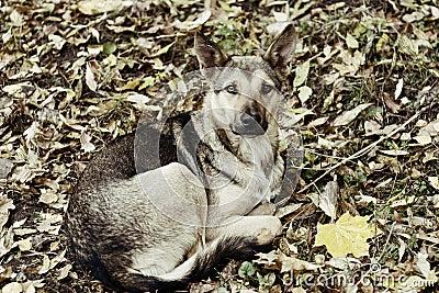 Mongrel dog lying