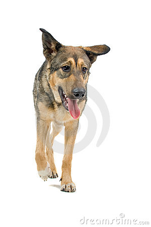 Mongrel German Shepherd dog