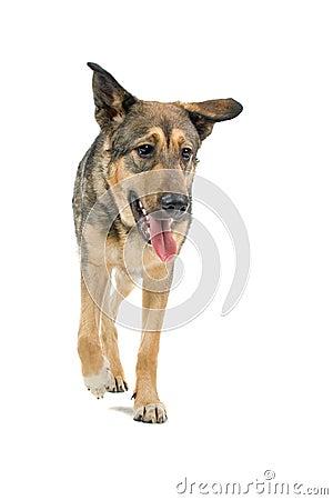 Mongrel German Shepherd dog