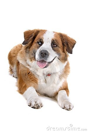 Mongrel Saint Bernard dog