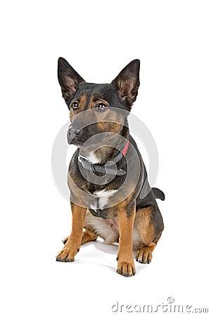 Mongrel Shepherd dog