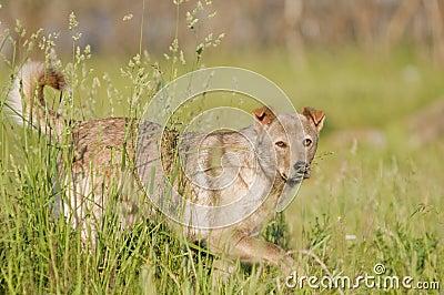 Mongrel wild dog