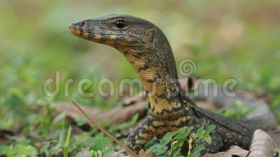 Monitor de agua asiático - Salvador Varanus también monitor de agua común, lagarto varanide grande nativo del sur y sudeste de  metrajes