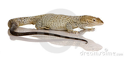 Monitor lizard - Freckled Monitor - Varanus tristi