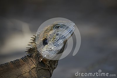 Monitor lizard or iguana in wild
