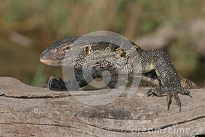 Monitor lizard laying on log