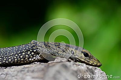 Log lizard download