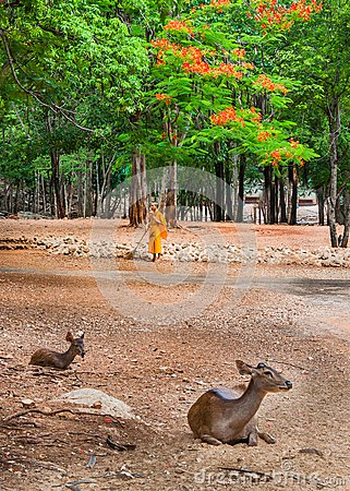 Monk doing daily cleaning routine at at the Tiger Temple in Kanchanaburi, Thailand. Editorial Image
